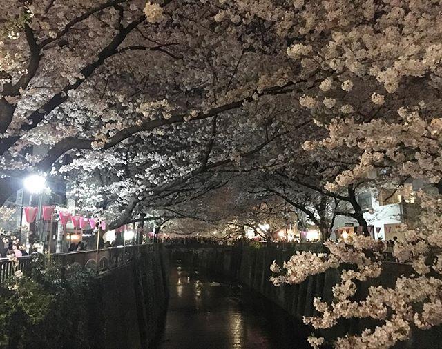 Night time cherry blossoms at Naka-Meguro!! What a magical sight🌸🌸🌸💕💕💕 #sakura #beautiful #japan #nakameguro