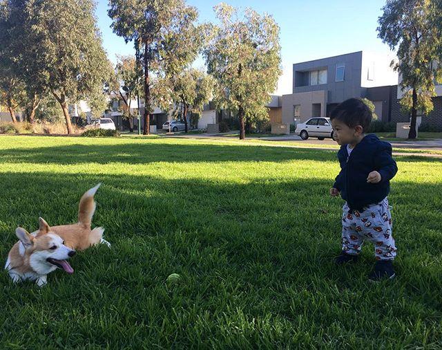 Theo: fetch the ball butters🎾  Butters: ...nope 🐶 #babytheo #babyofinstagram #corgi #babyandcorgi #butterslecorgi #corgi