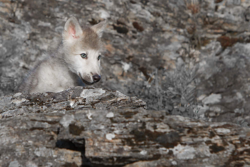 Wolf Pup  Northwestern Montana  #20130707_0277-2