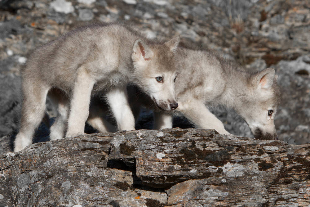 Wolf Pups  Northwestern Montana  #20130707_0315-2