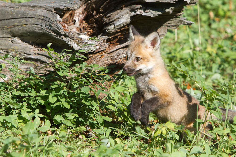 Red fox kit  Western Montana  #20130707_0238