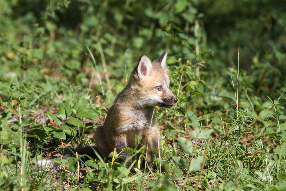 Red fox kit  Western Montana  #20130707_0323