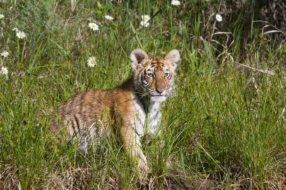 Tiger cub #20130707_0389-2
