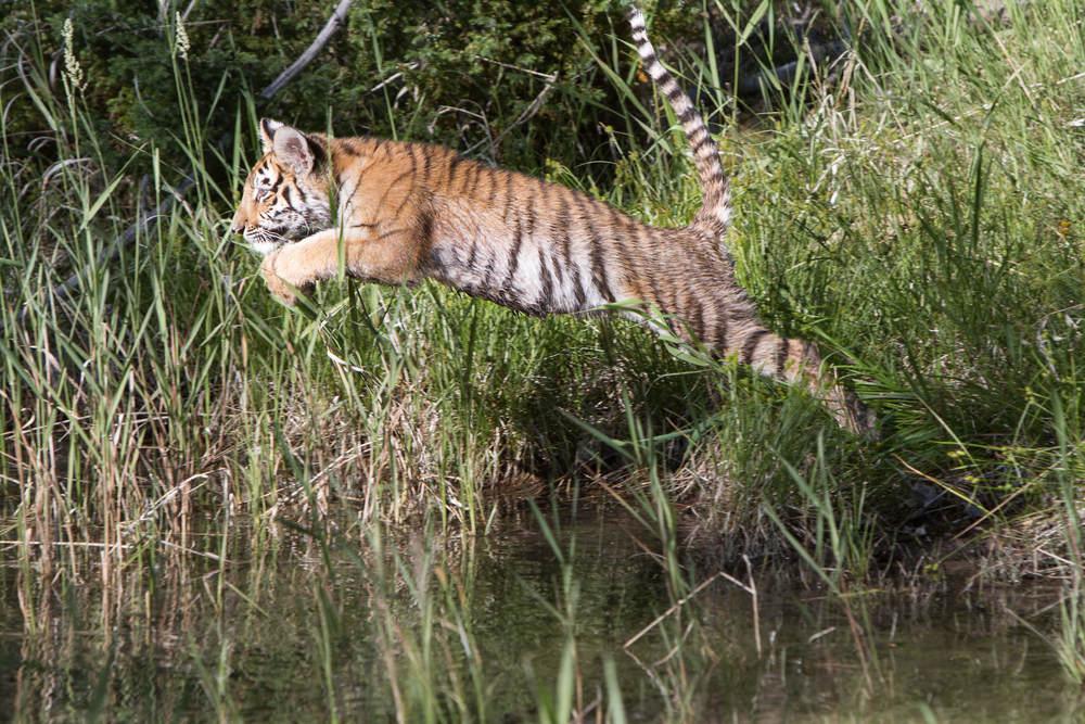 Tiger cub #20130707_0444-2