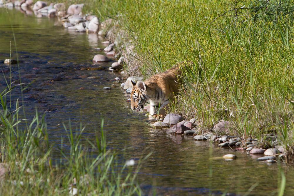 Tiger cub #20130707_0467
