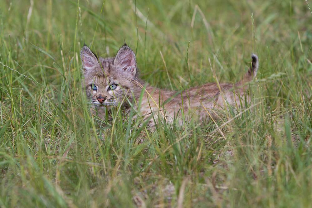 Bobcat kitten  Western Montana  #21030708_0233-2