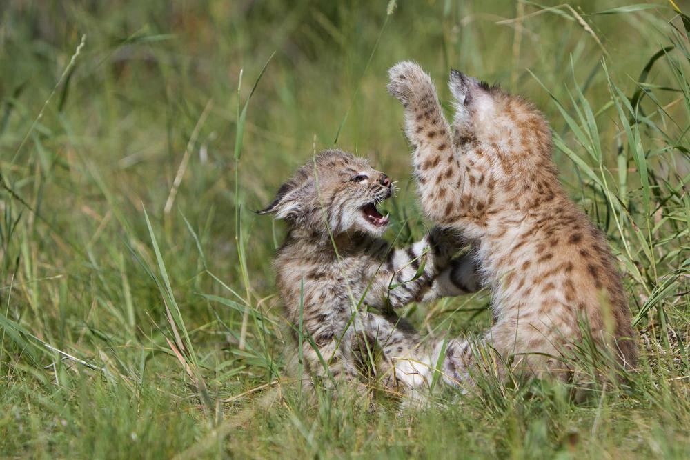 Bobcat kittens  Western Montana  #20130708_0348-2