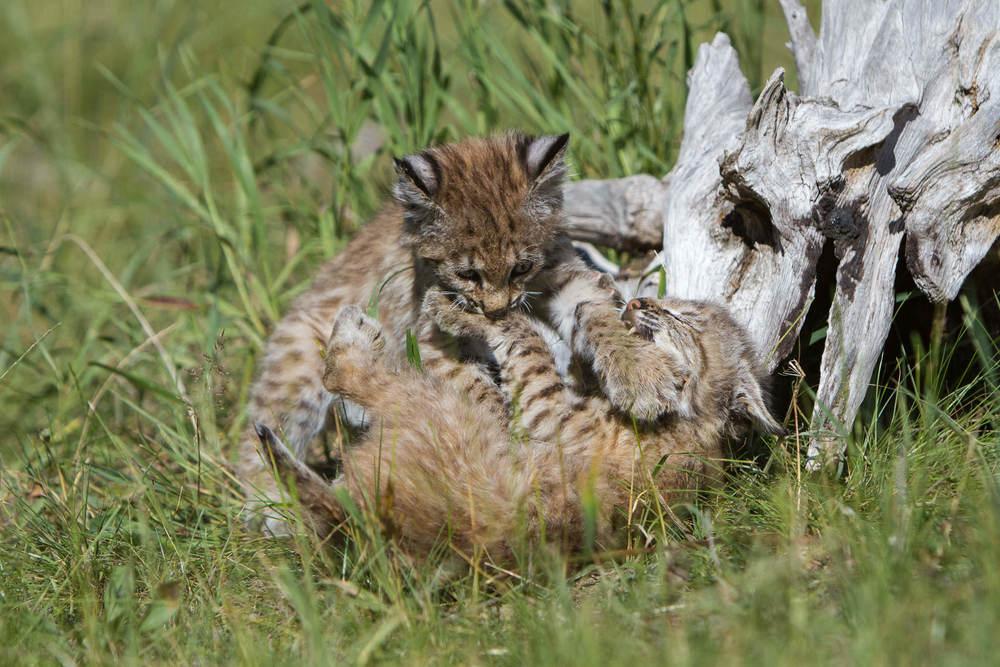 Bobcat kittens  Western Montana  #20130708_0373-2