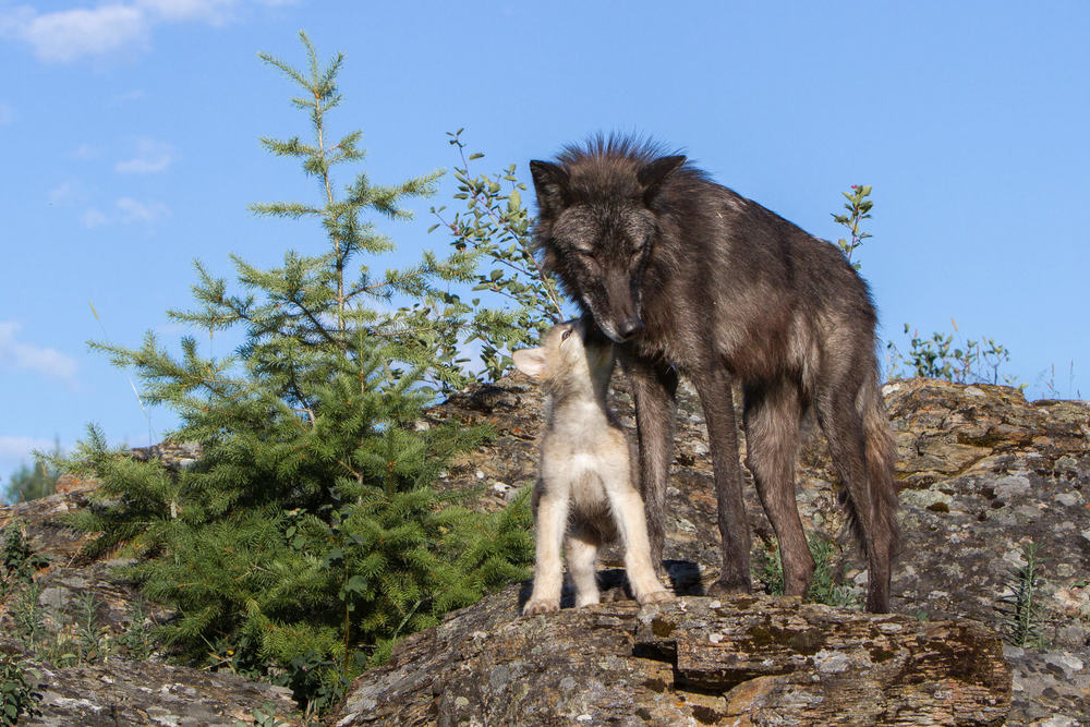 Wolf and pup  Western Montana  #20130707_0435