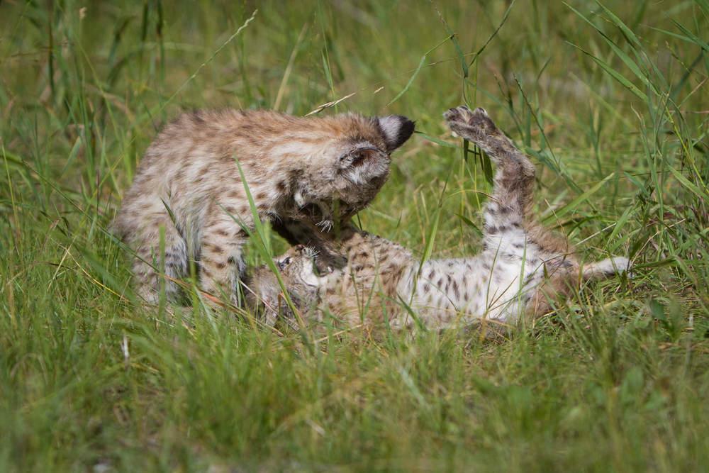 Bobcat kittens  Western Montana  #20130708_0189-2