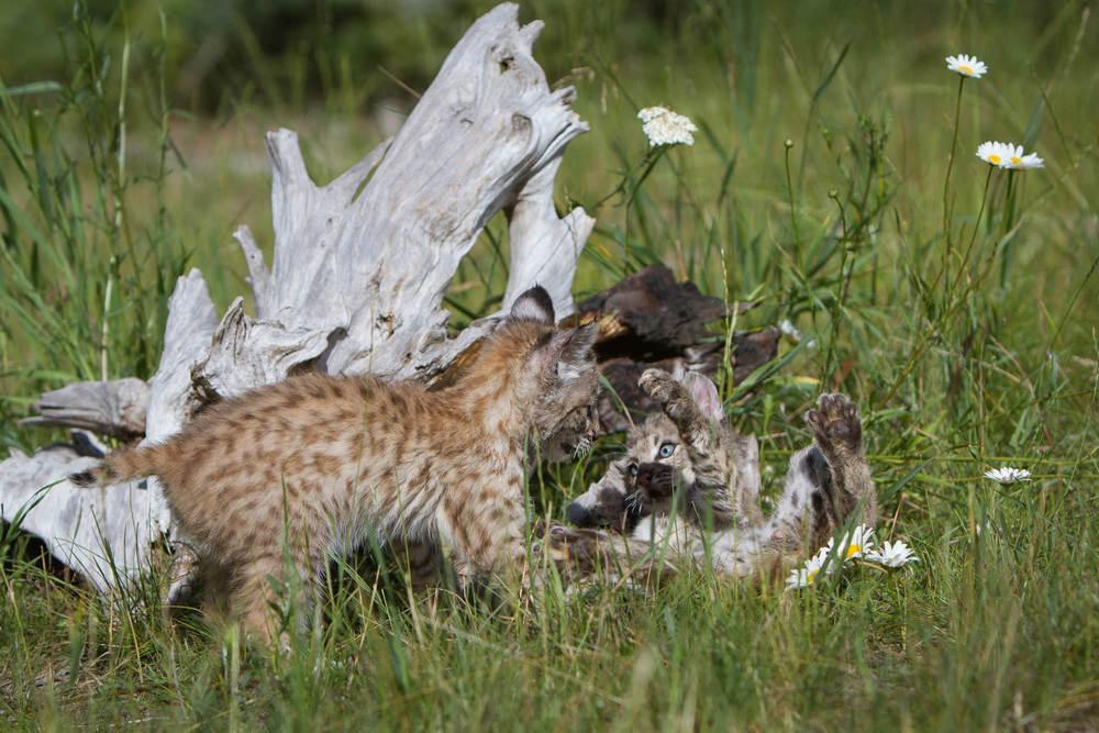Bobcat kittens  Western Montana  #20130708_0268-2