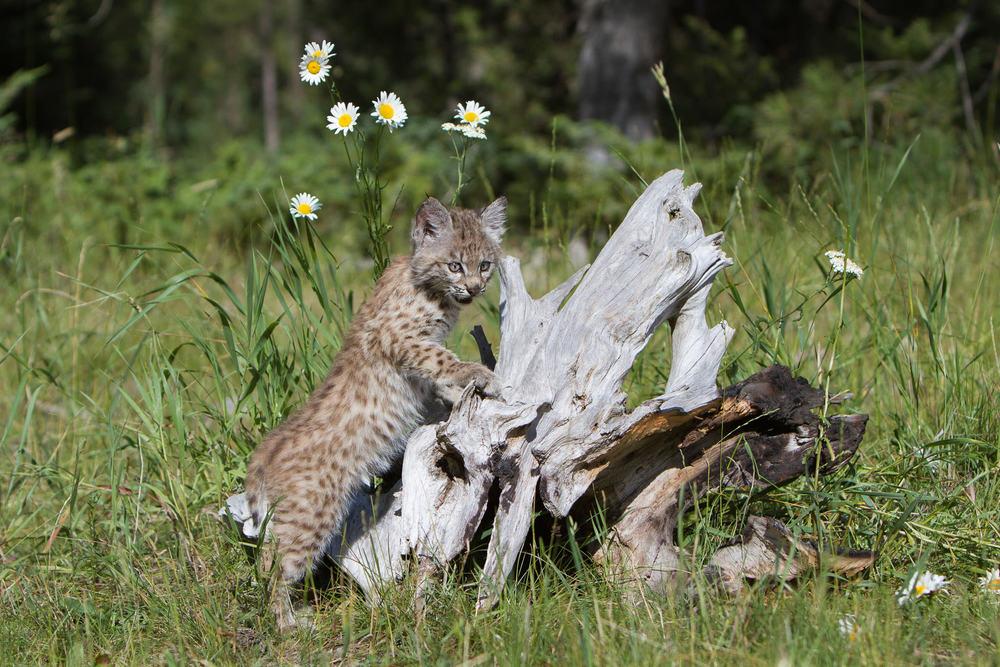 Bobcat kitten  Western Montana  #20130708_0296-2