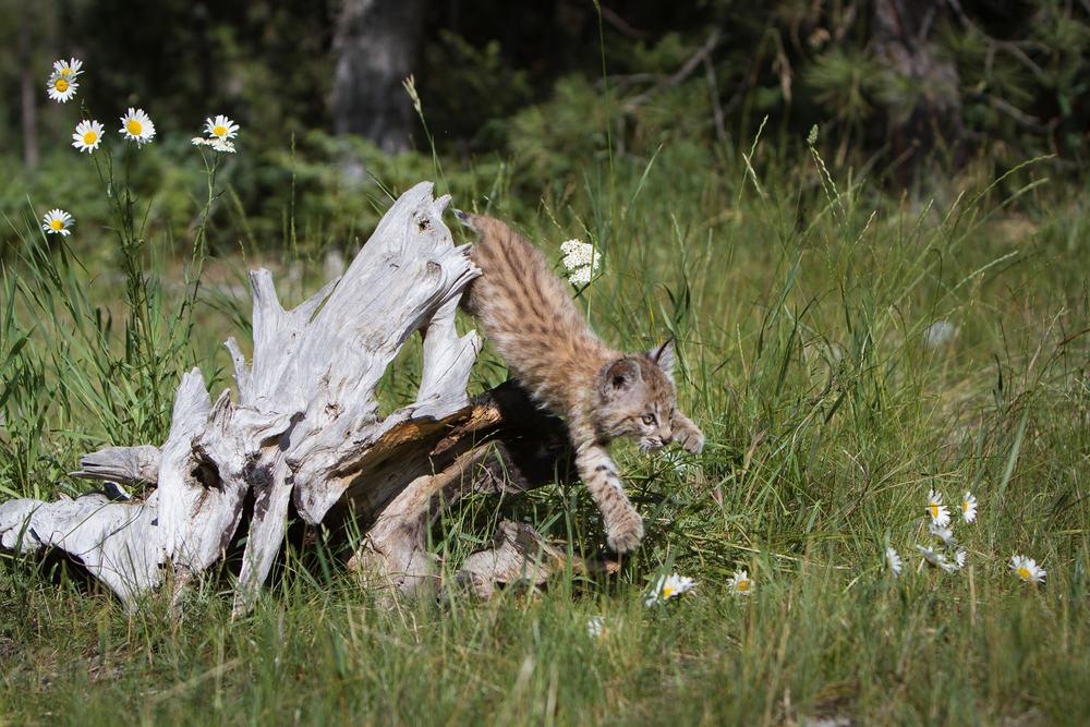 Bobcat kitten  Western Montana  #20130708_0314-2