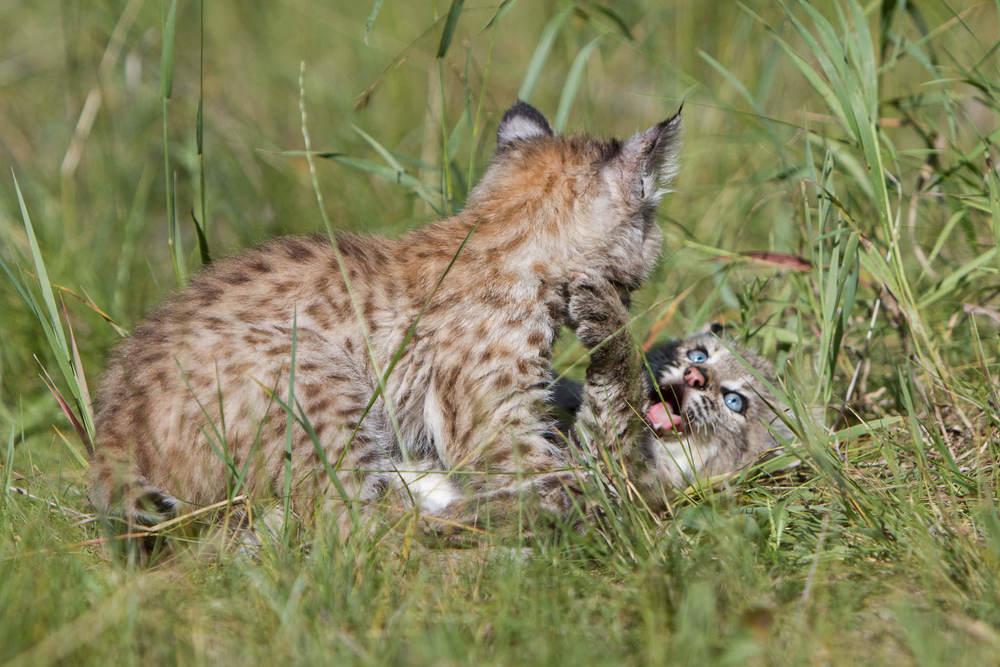 Bobcat kittens  Western Montana  #20130708_0335-2