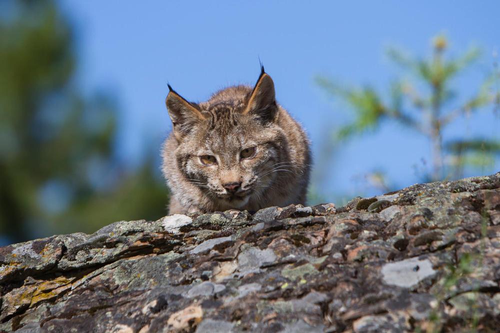 Canadian Lynx  Western Montana  #20130708_0705