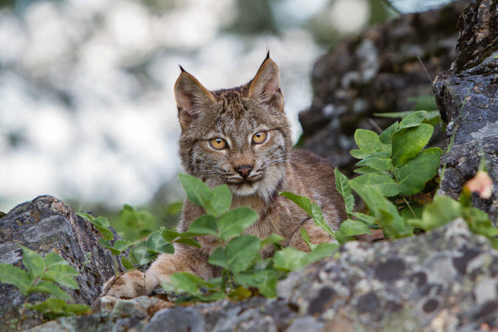 Canadian Lynx  Western Montana  #20130708_0793