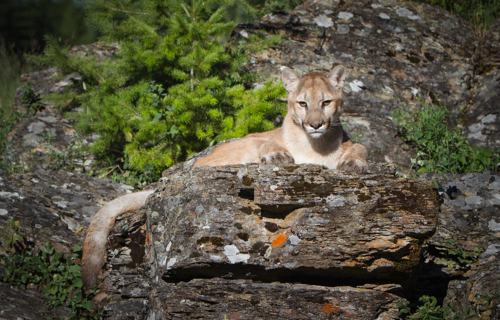 Mountain Lion  Western Montana  #20130709_0307