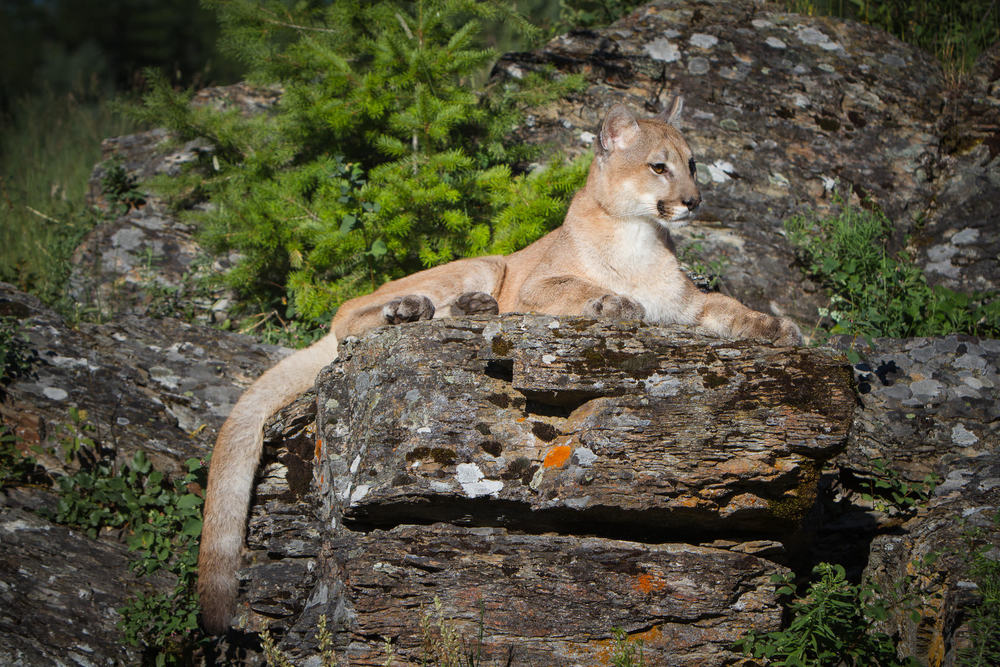 Mountain Lion  Western Montana  #20130709_0344