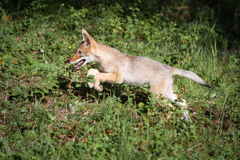 Coyote pup  Western Montana  #20130709_0491