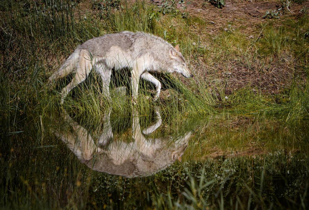Wolf  Western Montana  #20130710_0197