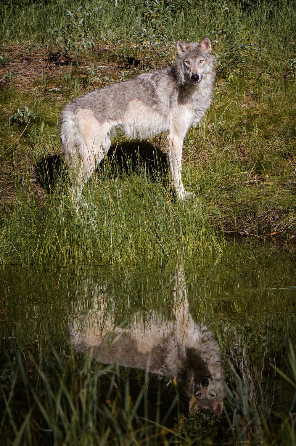 Wolf  Western Montana  #20130710_0202