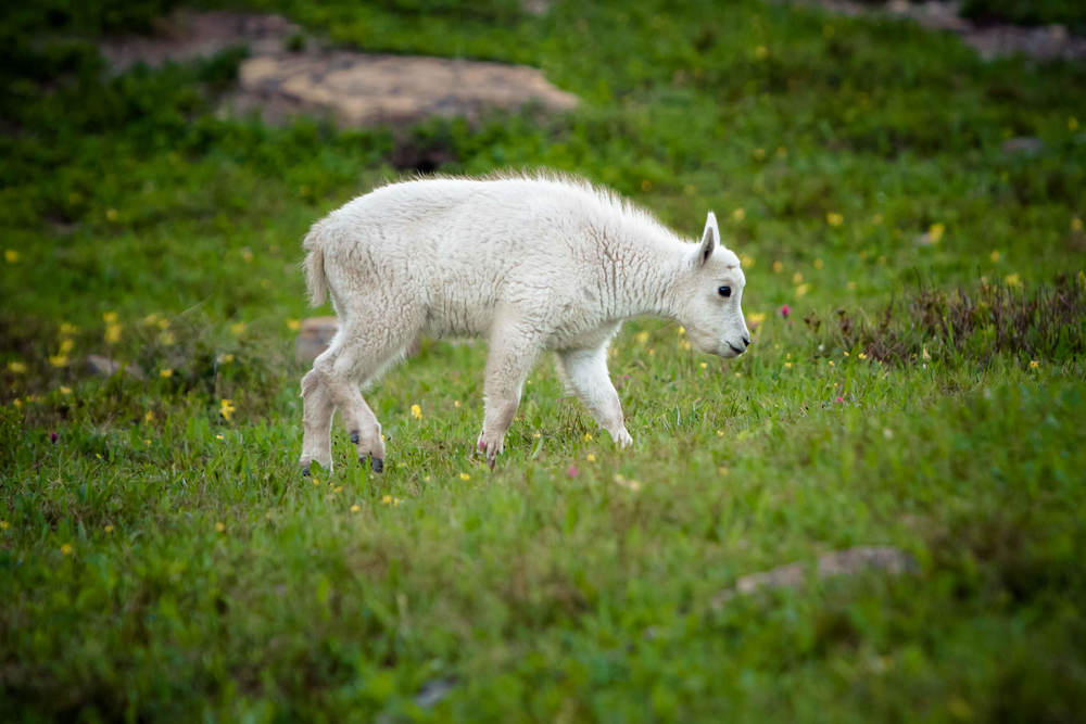 Mountain Goat kid  Glacier National Park  #20130711_0576-2