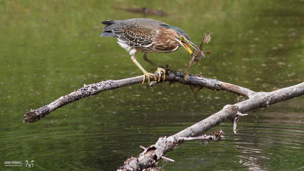 American Bittern w/ Frog  Ridgefield Wildlife Refuge  #20140829_0126