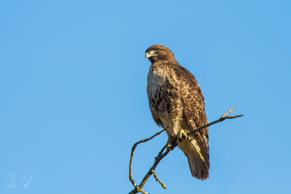 Hawk  Ridgefield Wildlife Refuge  #20150130_0205