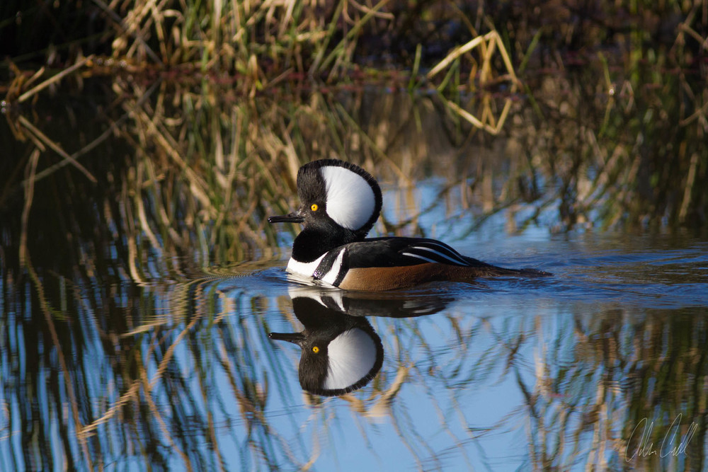 Male Hooded Merganser  Ridgefield Wildlife Refuge  #20150130_0336