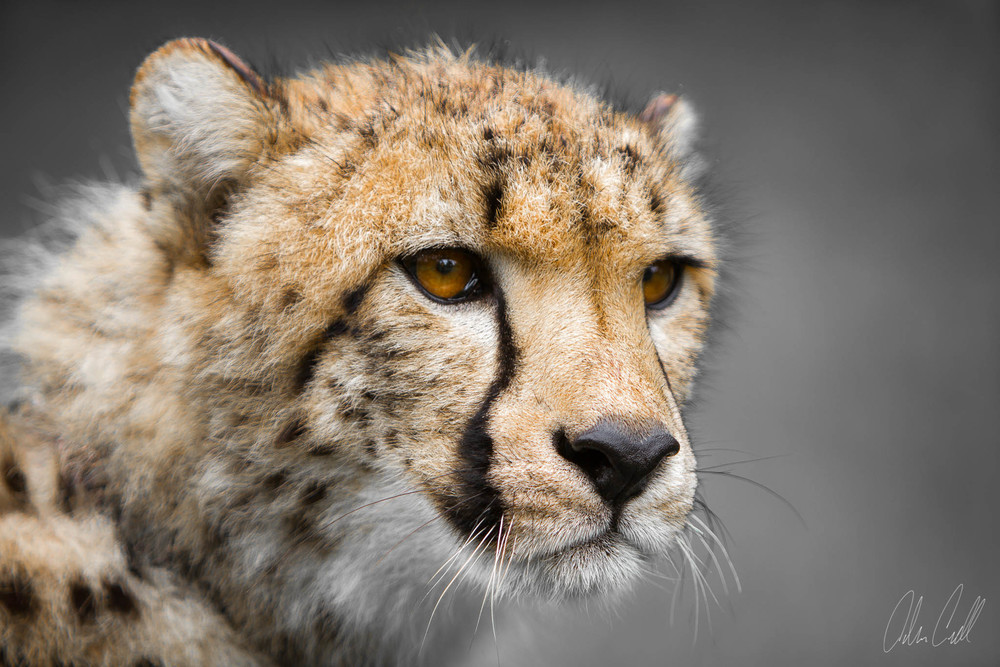 Cheetah #20130527_0067-3