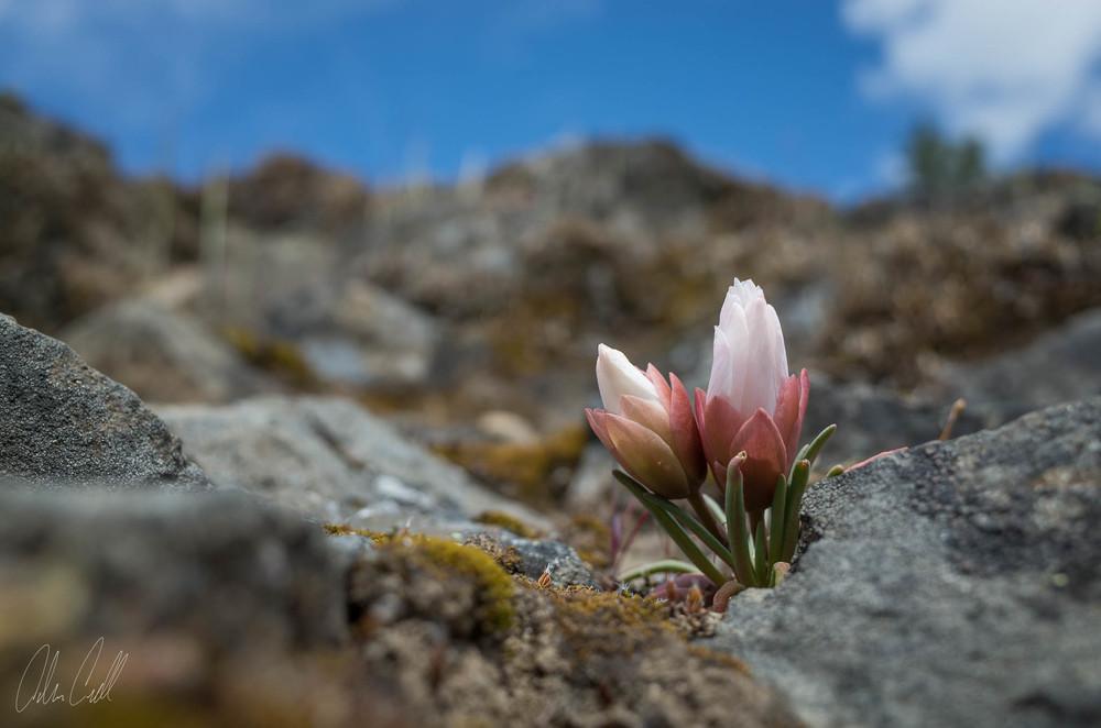 Bitter Root Blossom