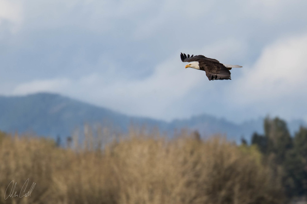 Bald Eagle  Ridgefield Wildlife Refuge  #20150414_0044