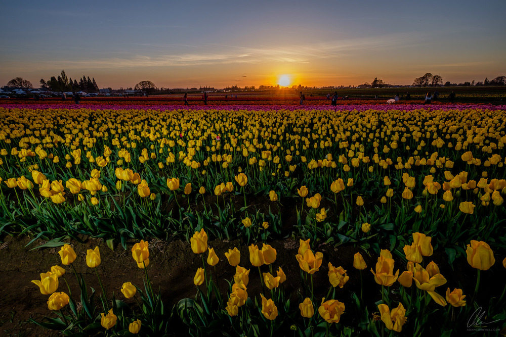 Tulips Sunset