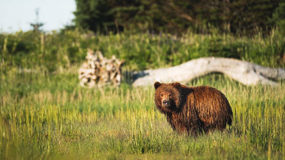 Cinnamon Bear III