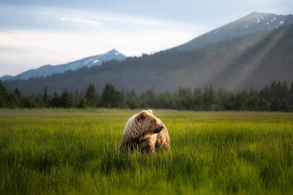 Brown Bear Grazing