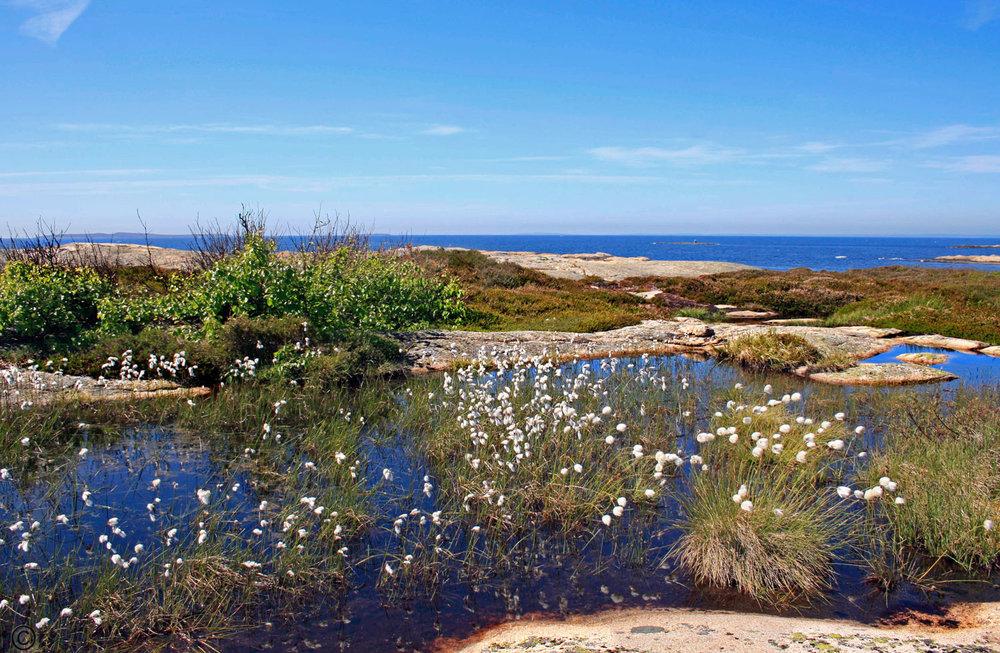 Duskmyrull er typisk for det flotte området ytterst på Torgautøyene.