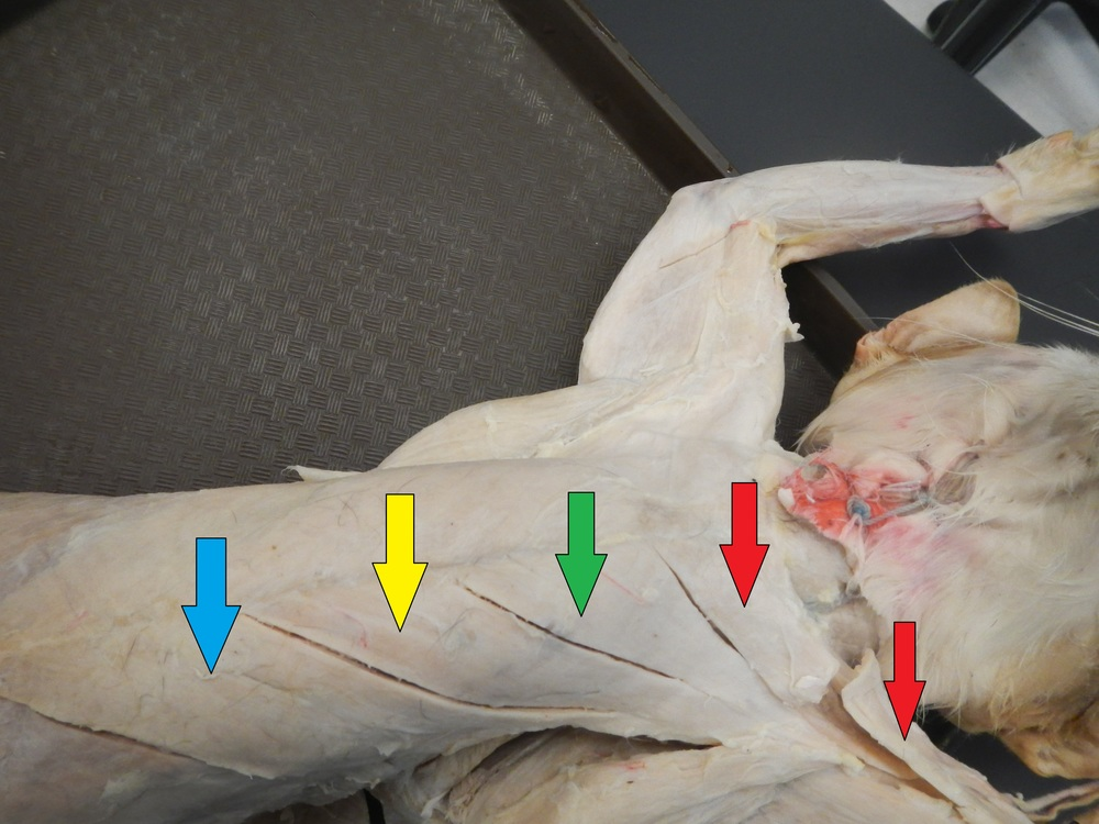 Chest Musculature:    Blue: Xiphihumeralis    Yellow: Pectoralis Minor    Green: Pectoralis Major    Red: Pectoantebrachialis