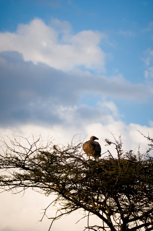 Cape vulture at nest