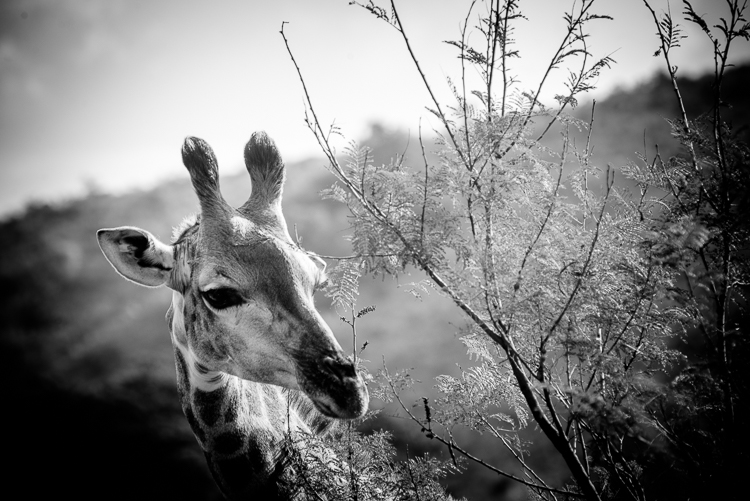 Giraffe in Black and White - Wildlife photograph available as digital download for a limited time