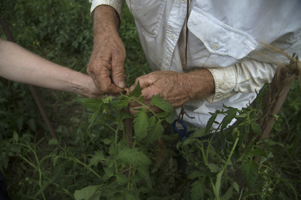 Dad and I staking tomatoes 3.jpg