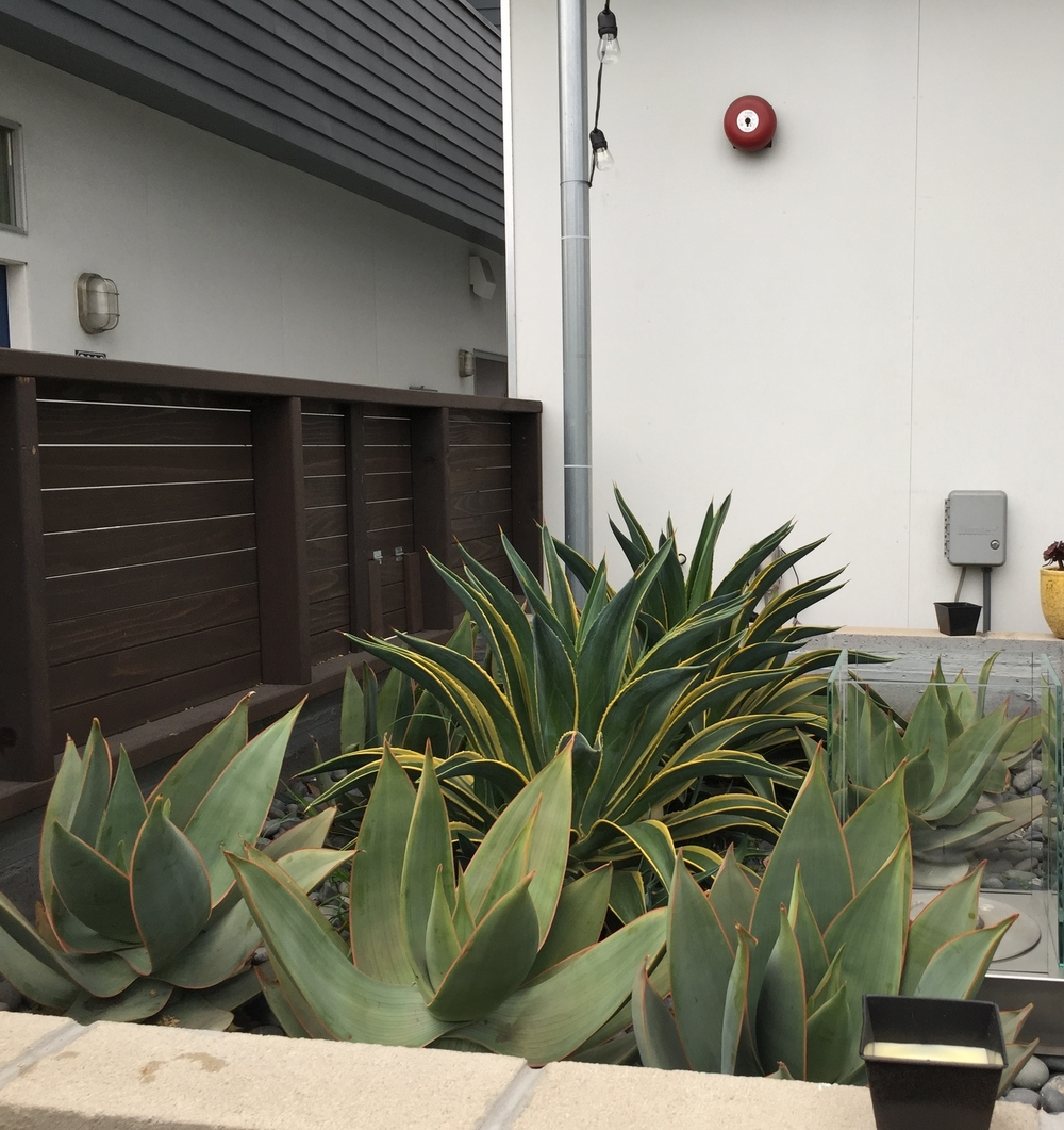 When we first planted these agave in the bio-filtration planters, they were about the size of a softball. In just the first year, with minimal watering, they are thriving.