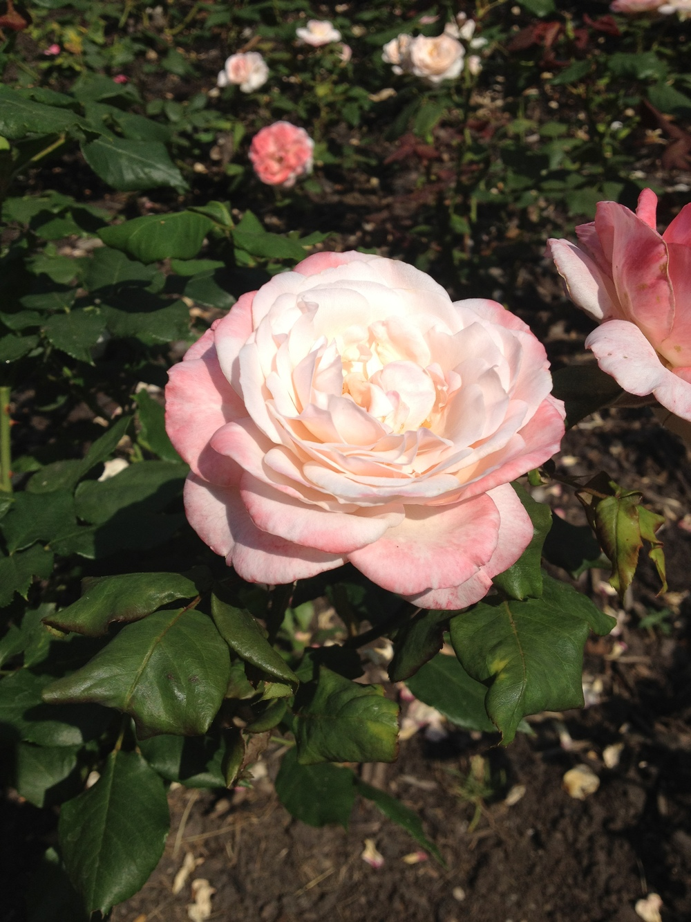 In the rose garden at Pitzhanger Manor in the summer
