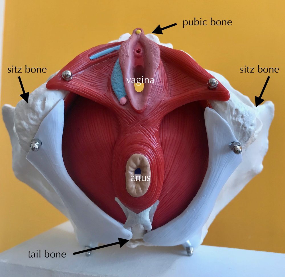 - Check out this image of the pelvic floor.
