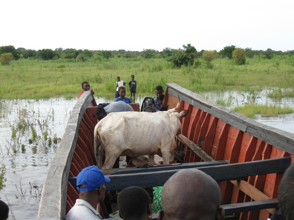 Cow in boat.
