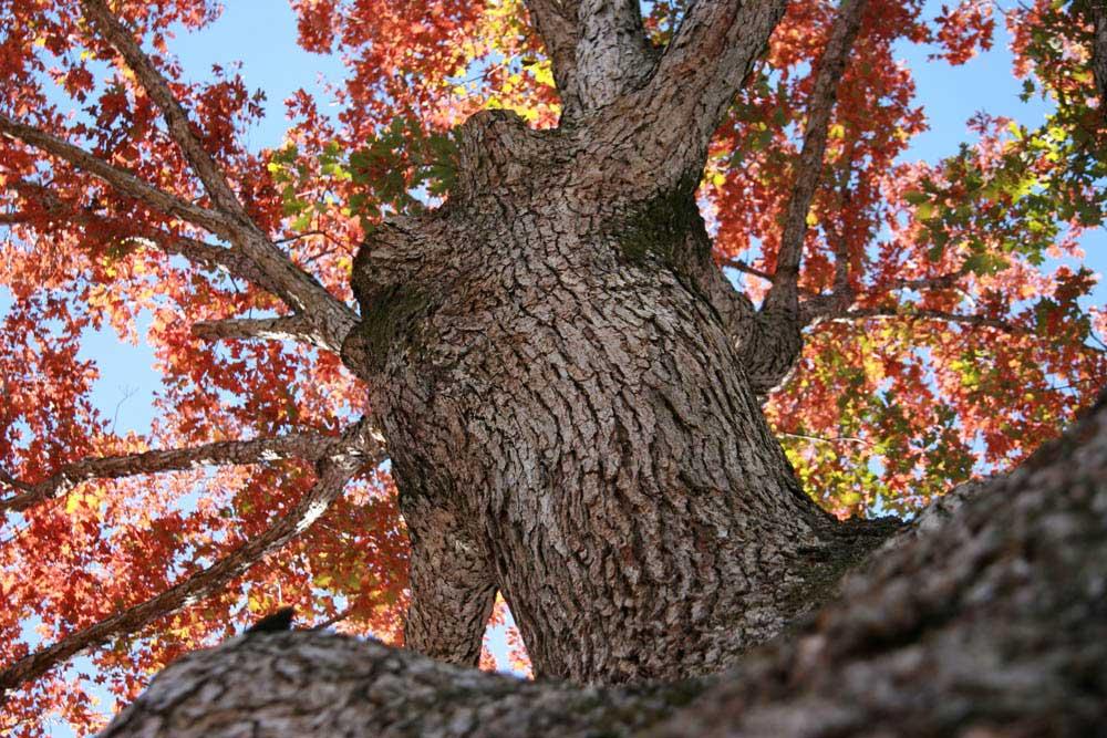 Fall_Oak_img8834.jpg