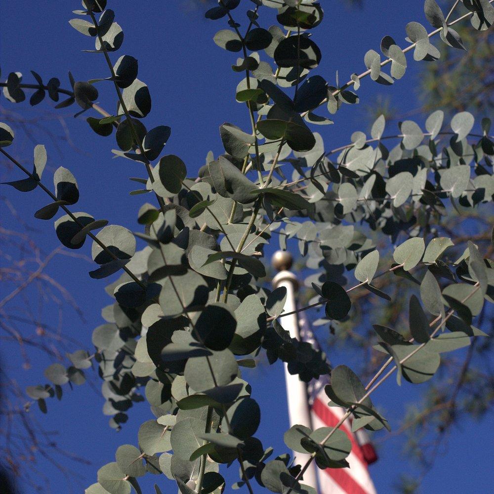 EucalyptusUSA.jpg