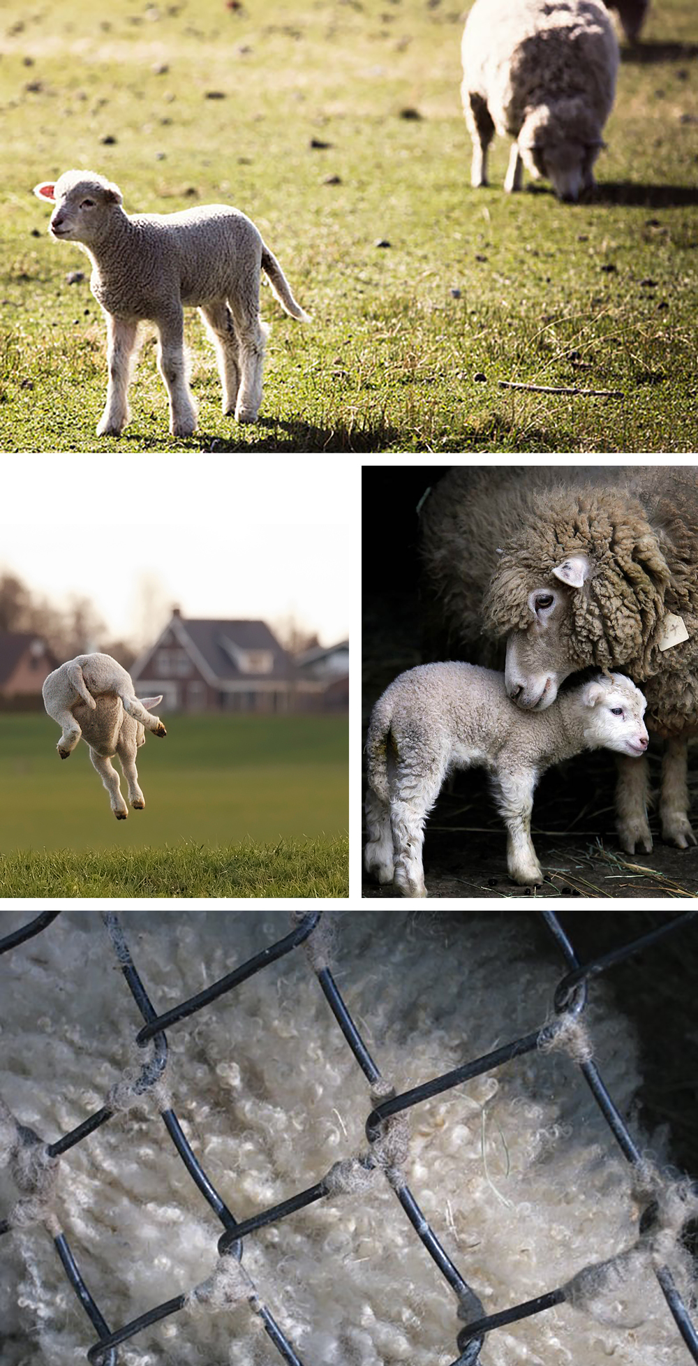 Top to bottom: Sheep in Patagonia from Ann Street Studio; Leaping Lamb; Lamb and its mother via NBC; closeup of a sheep at the Oatland Island Wildlife Center, photo by me.