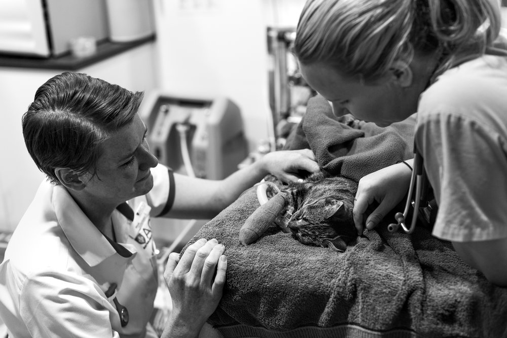 Almost everyone in the practice has a pet, if not several. Nurse Skye Longley ( left ), has Wean who [ at the time of photography ] has a 10% chance of surviving what is most likely sepsis.  16 February, 2018.