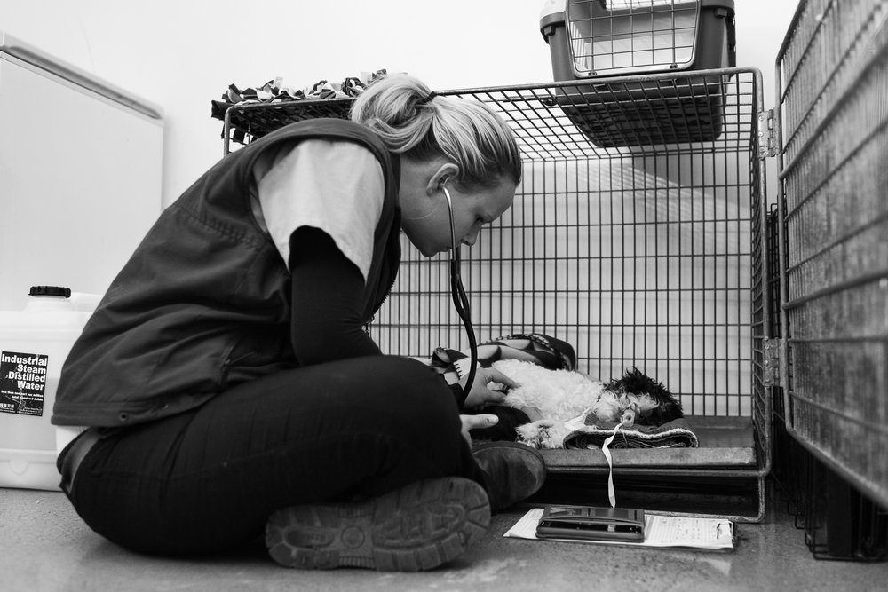 Head Nurse Stephanie Robertson monitors Lucy after surgery and waits for signs of wakefulness, like swallowing and licking, before she can extubate. That wait can sometimes more than an hour and a staff member must be present for the duration.  22 March, 2018.