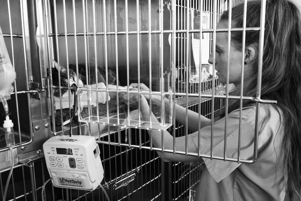 Nurse Chelsea Rose puts a cat into recovery after emergency treatment.  6 March, 2018.